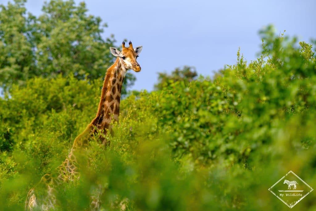 Girafe, Timbavati Private Nature Reserve