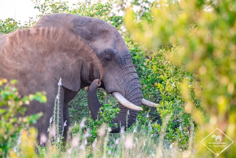 Eléphant, Timbavati Private Nature Reserve