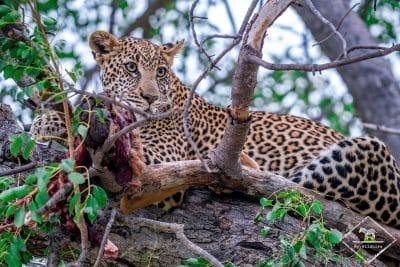 Léopard, Timbavati Private Nature Reserve