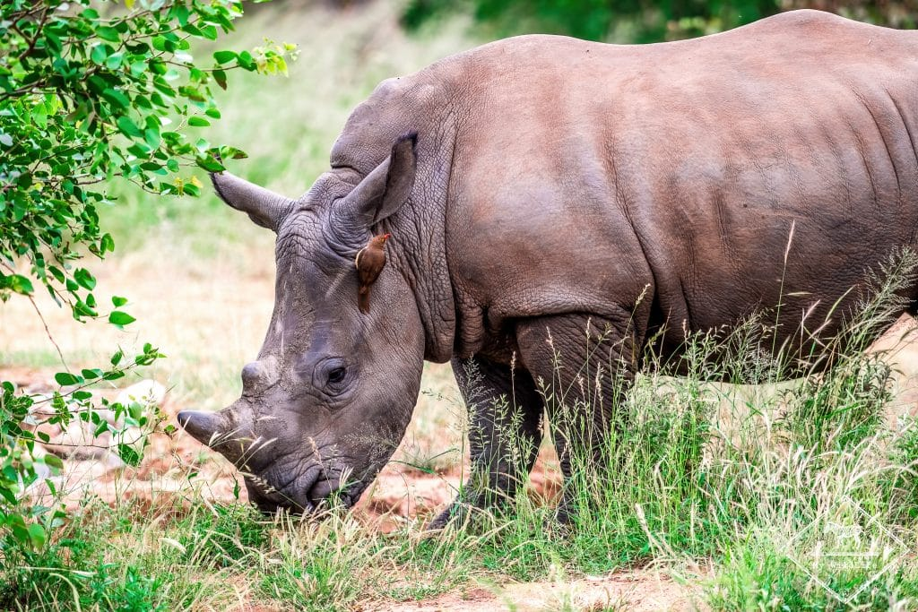 Rhinocéros blanc, Timbavati Private Nature Reserve