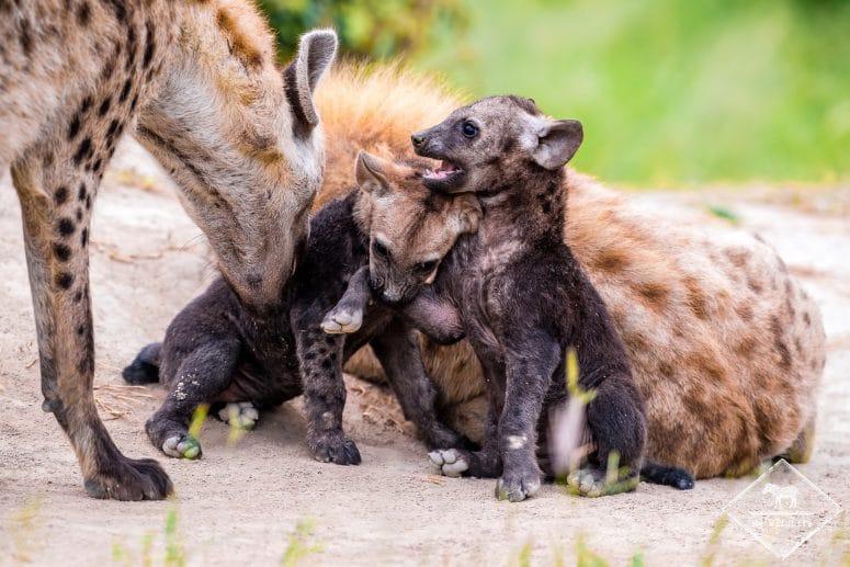 Hyènes tachetées, Timbavati Private Nature Reserve