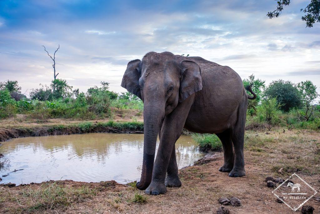 Eléphant d'Asie