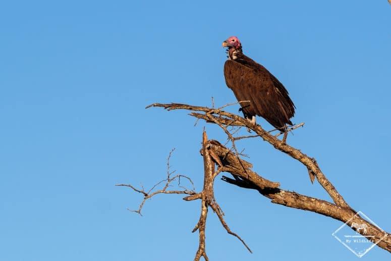 Vautour oricou, Manyeleti Game Reserve