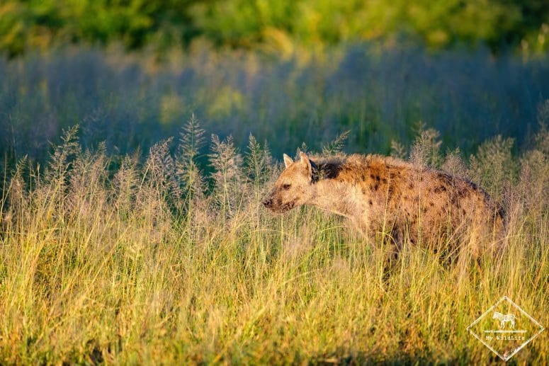 Hyène tachetée, Manyeleti Game Reserve