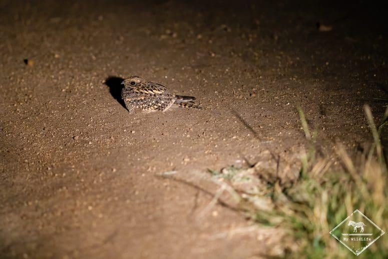 Engoulevent, Manyeleti Game Reserve