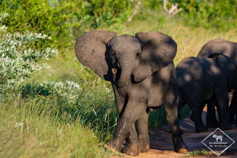 Eléphanteau, Manyeleti Game Reserve