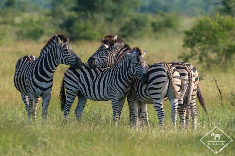 Zèbres de Burchell, Manyeleti Game Reserve