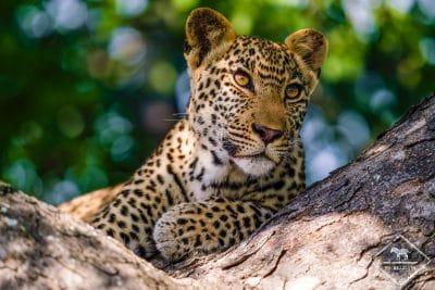 Léopard, Manyeleti Game Reserve