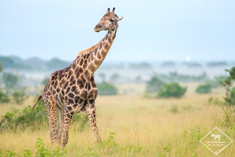 Girafe, Manyeleti Game Reserve