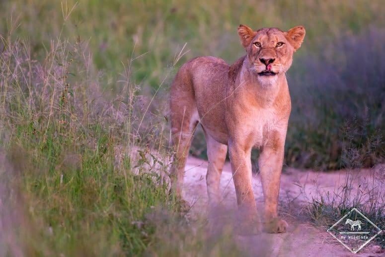 Lionne, Manyeleti Game Reserve