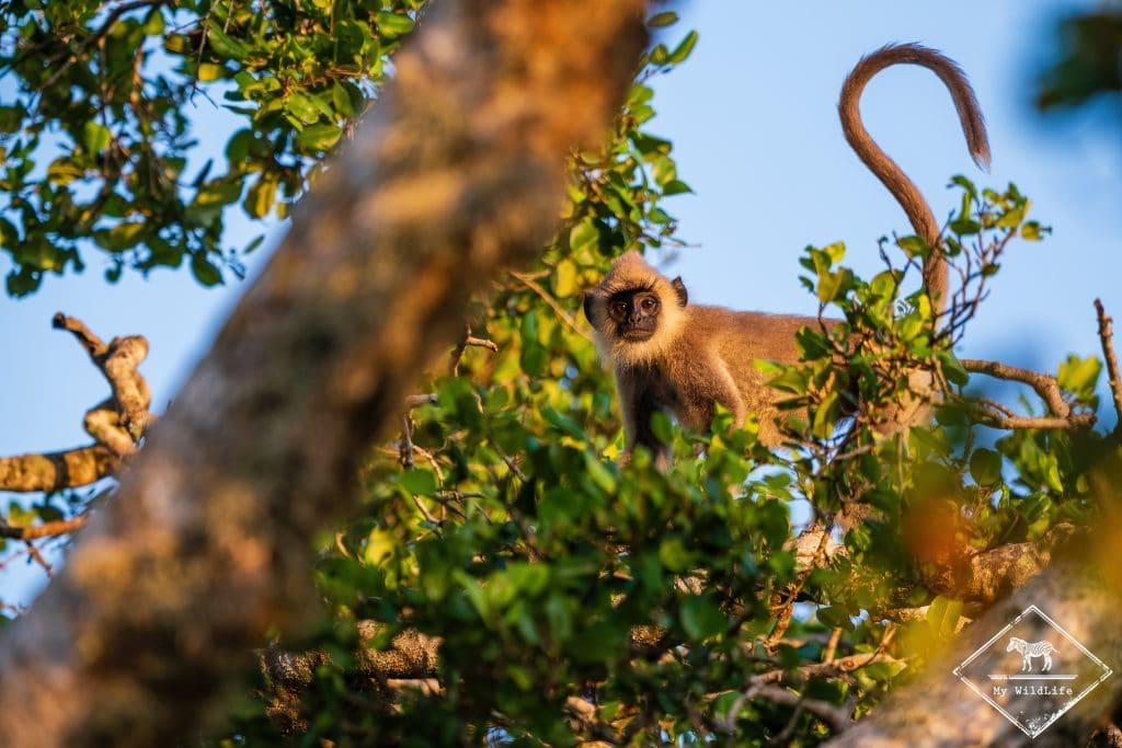 Langur Hanuman, Parc national Bundala