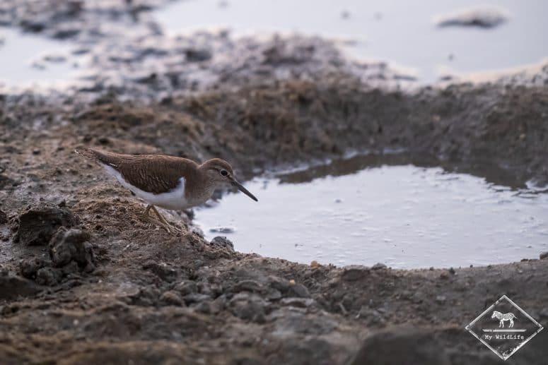 Chevalier guignette, Parc national Bundala