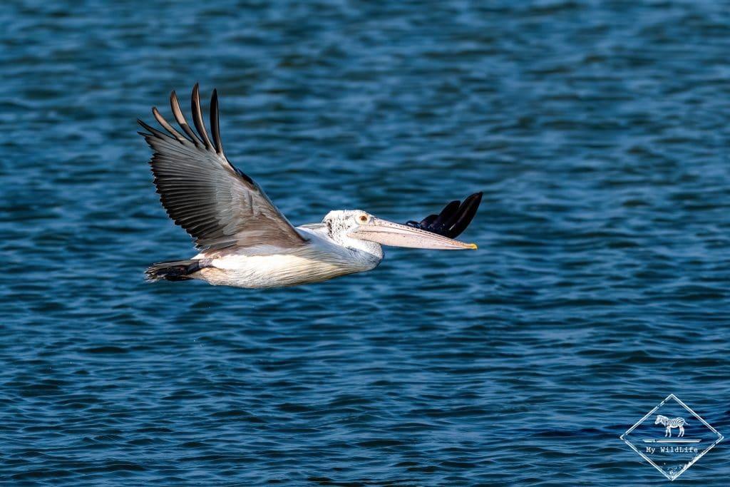 Pélican à bec tacheté, Parc national Bundala