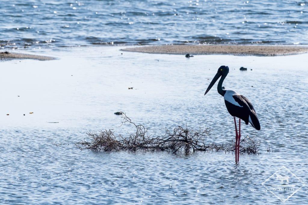 Jabiru d'Asie, Parc national Bundala