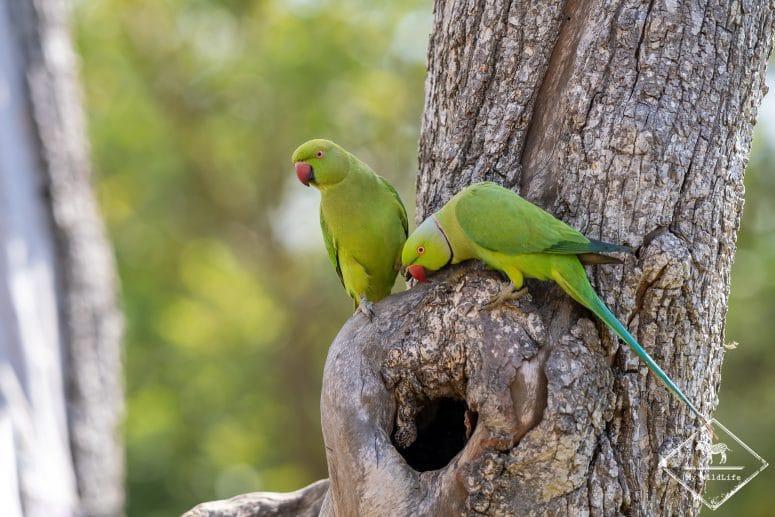 Perruche à collier, Parc national Bundala