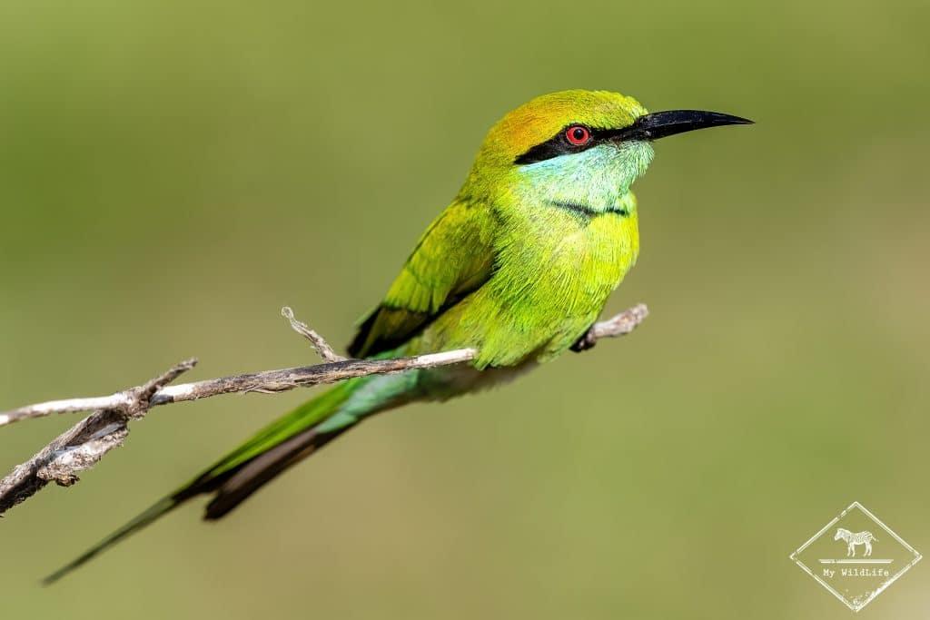 Guêpier d'Orient, Parc national Bundala