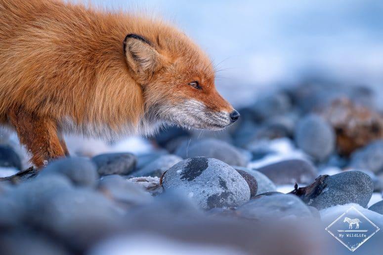 Renard roux de Sakhalin