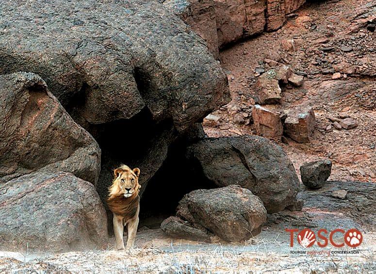 Tosco - projet de conservation des lions