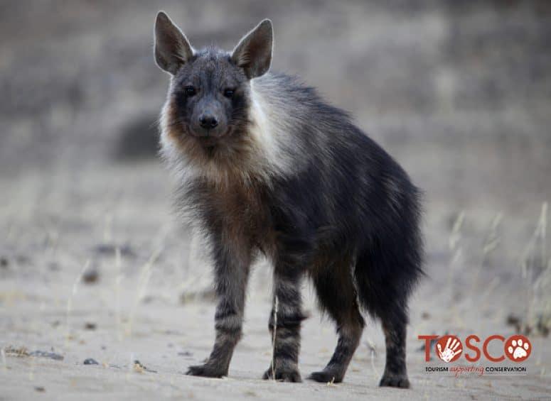 Tosco - projet d'étude sur la hyène brune