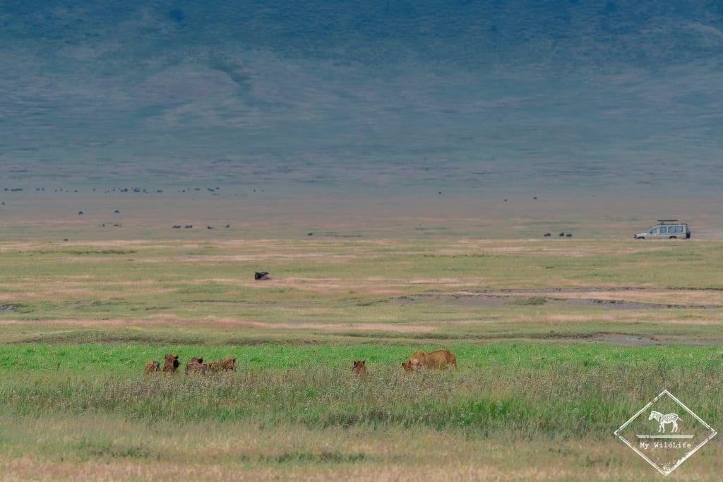Hyènes tachetées et lionnes