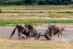 Safari dans le cratère Ngorongoro