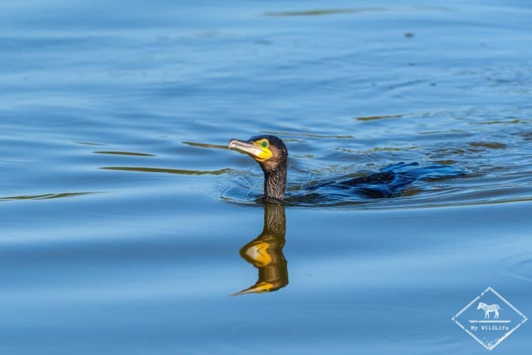 Grand cormoran, Marais du Vigueirat