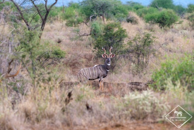 Petit koudou, Il Ngwesi Conservancy
