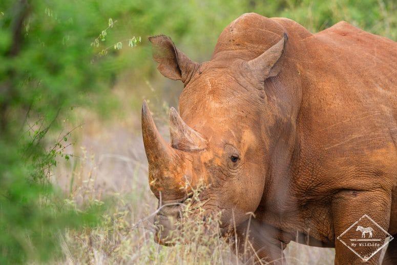 Rhinocéros blanc, Il Ngwesi Conservancy