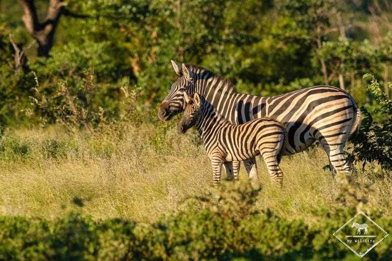 Zèbres des plaines, Klaserie Private Nature Reserve