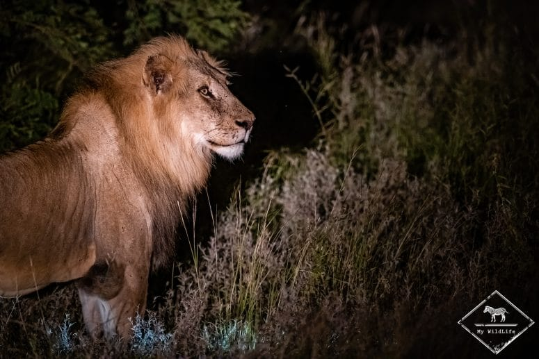 Lion, Klaserie Private Nature Reserve