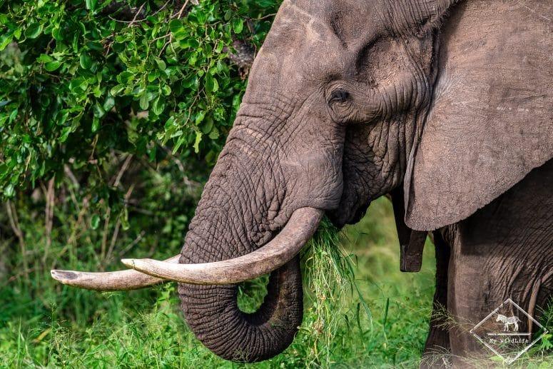 Eléphant, Klaserie Private Nature Reserve