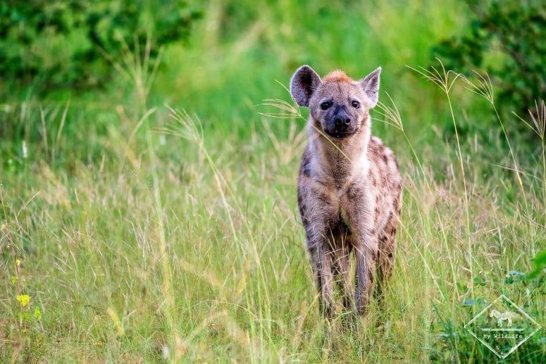 Hyène tachetée, Klaserie Private Nature Reserve