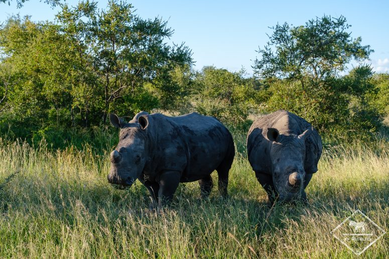 Rhinocéros blancs, Klaserie Private Nature Reserve