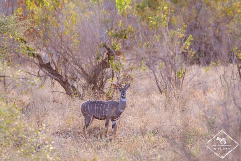 Petit koudou, parc national Meru