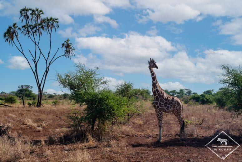 Girafe réticulée, parc national Meru