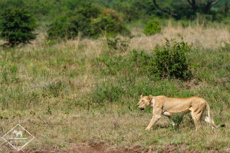 Lionne, parc national Nairobi