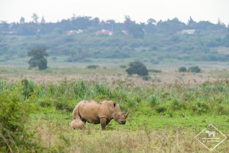 Rhinocéros blancs, parc national Nairobi