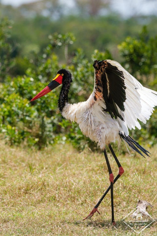 Jabiru d'Afrique, Ol Pejeta Conservancy