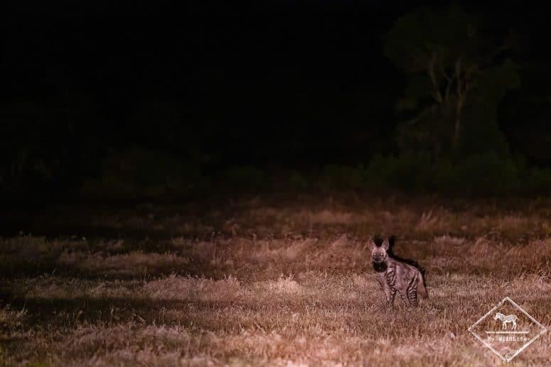 Hyène rayée, Ol Pejeta Conservancy