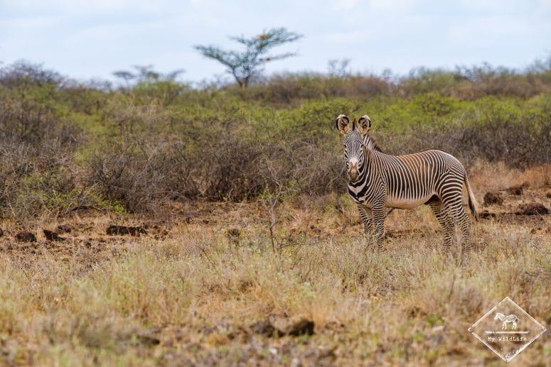 Zèbre de Grévy, réserve nationale Shaba