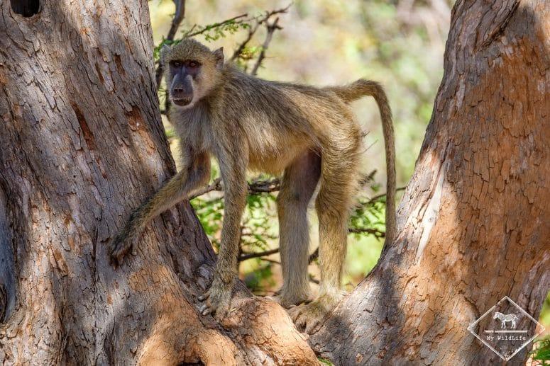 Babouin, parc national Tsavo Ouest
