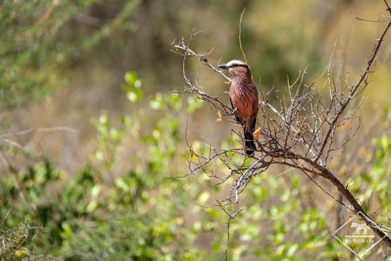 Rollier varié, parc national Tsavo Ouest