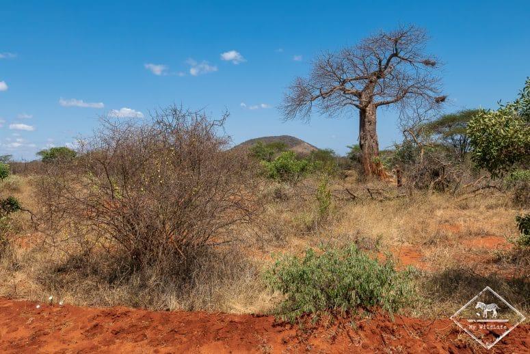 Baoba, parc national Tsavo Ouest