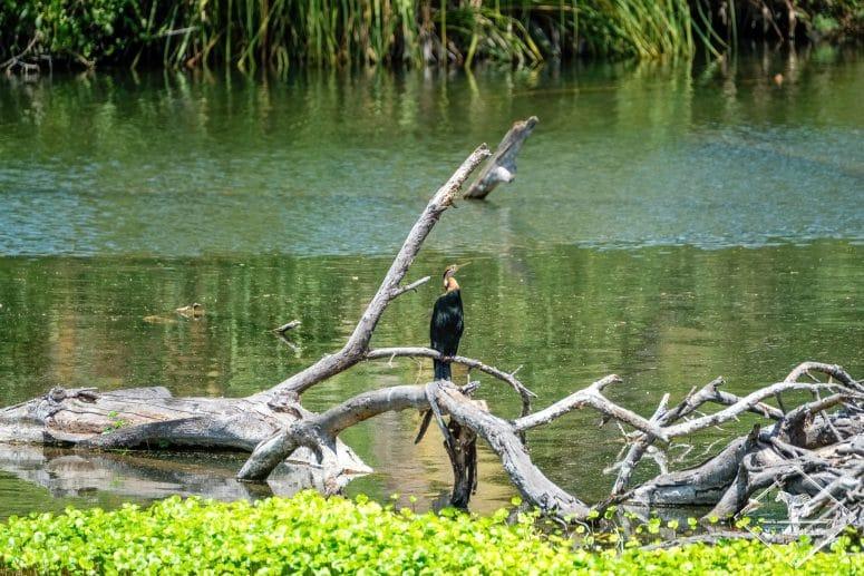 Anhinga d'Afrique, parc national Tsavo Ouest