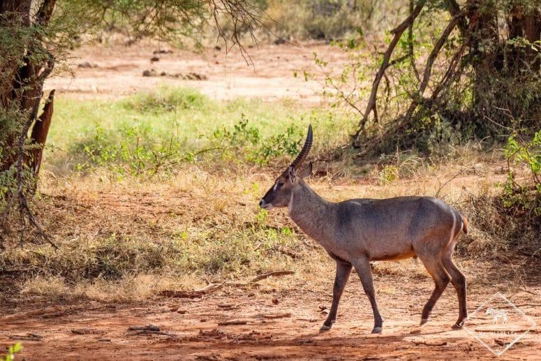Cobe à croissant, parc national Tsavo Ouest