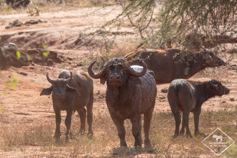 Buffles, parc national Tsavo Ouest
