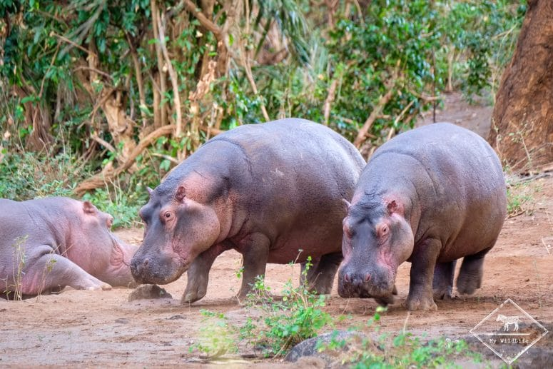 Hippopotames, parc national Tsavo Ouest