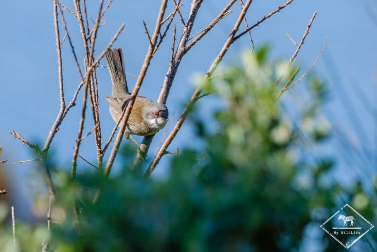 Fauvette mélanocéphale, parc ornithologique de Pont de Gau