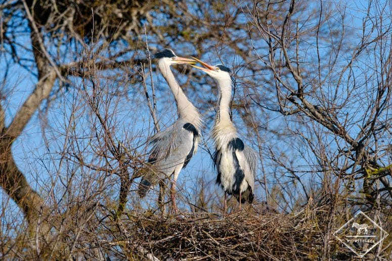 Hérons cendrés, parc ornithologique de Pont de Gau