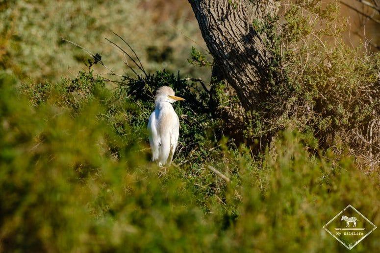 Héron garde-boeufs, parc ornithologique de Pont de Gau